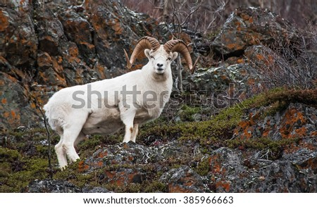 Dall sheep ram on the cliffs - stock photo