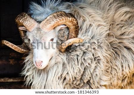 Dalls Sheep Big Horns  - stock photo