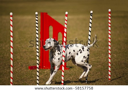 Dalmatian at agility course - stock photo