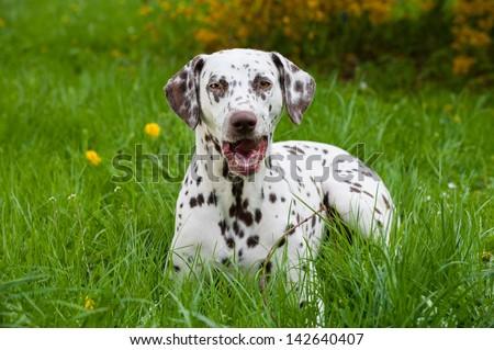 Dalmatian dog lying in a meadow - stock photo