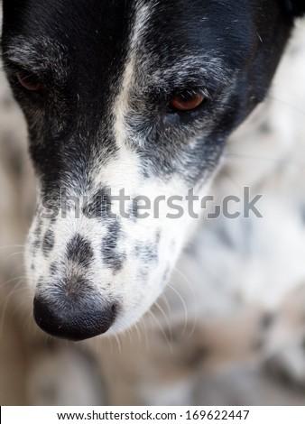 dalmatian dog no purebred head shot close up - stock photo