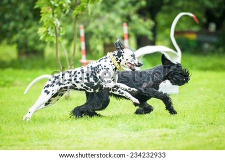 Dalmatian dog playing with giant schnauzer dog - stock photo