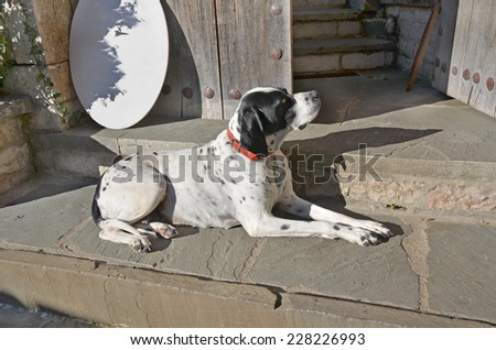dalmatian dog sitting in front of old wooden  door on the step - stock photo