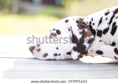 Dalmatian dog sleeping - stock photo