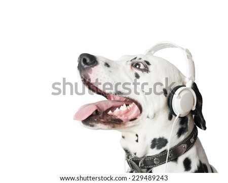 Dalmatian dog with open mouth, headphones and leather collar. Dog in profile looking up. Dog tongue and fangs visible. Listening music. - stock photo