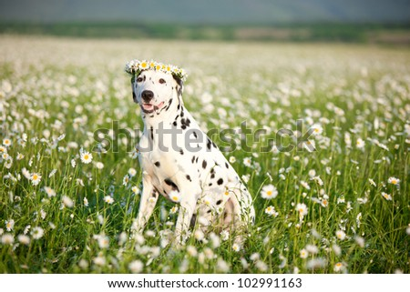 Dalmatian in wreath sitting in field of chamomiles - stock photo