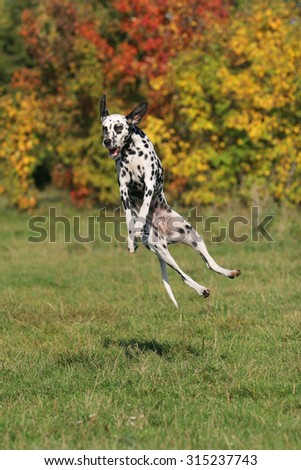 Dalmatian jumping for a Frisbee disc - stock photo