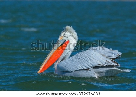 Dalmatian Pelican on water - stock photo