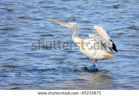 Dalmatian Pelican - Pelecanus crispus - stock photo
