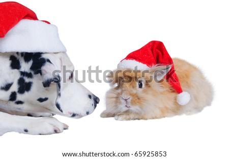 Dalmatians sniffing rabbit in the Santa hat. In the studio - stock photo