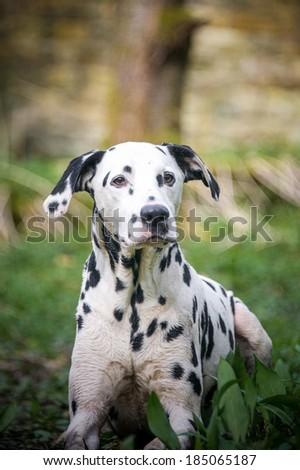 Dalmation  - stock photo