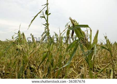 Damage to corn field - stock photo