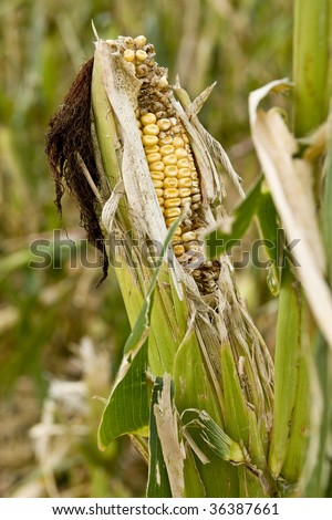 Damaged Corn Field - stock photo