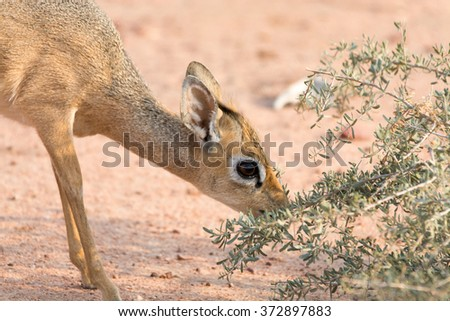 Damara Dik-Dik eating leaves in Etosha National Park, Namibia, Africa. - stock photo