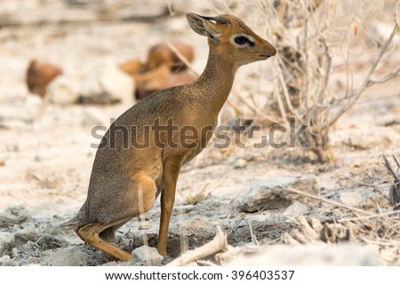 Damara dik dik in bushland, seen and pictured in several national parks in namibia, africa. - stock photo