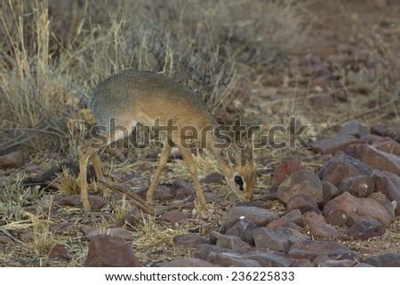 Damara Dik Dik, the smallest of the antelope, Namibia - stock photo
