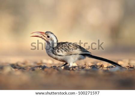 Damara Hornbill feeding on ground. - stock photo