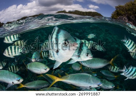 Damselfish and fusiliers swim in shallow water in Palau's lagoon. The warm, clear waters of this Micronesian island nation support a wide diversity of reef fish and invertebrates. - stock photo