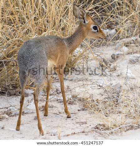 Danara Dik Dik, seen at safari tour through namibia, southern africa. - stock photo