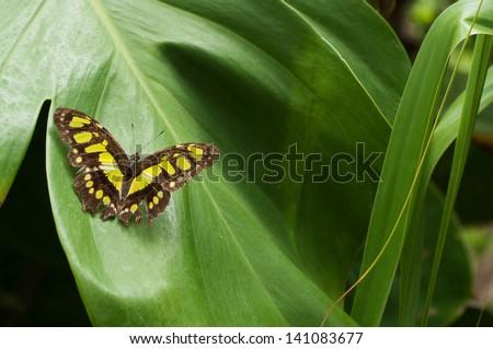 Danaus plexippus on a leaf, Mexico - stock photo