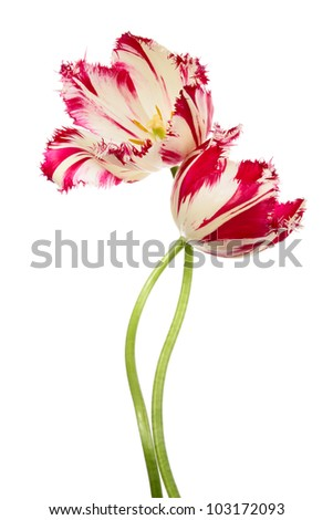 Dance of flowers. Pink-white tulips isolated on white - stock photo