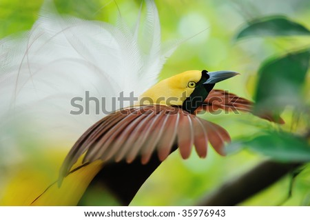 dancing bird of paradise - stock photo