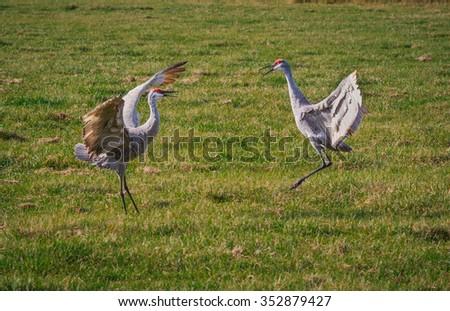 Dancing Mating Sandhill Cranes - stock photo