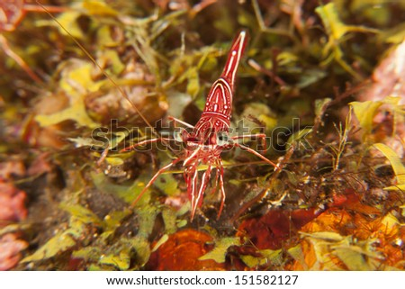 Dancing Shrimp (Rhynchocinetes durbanensis) on a tropical coral reef in Bali, Indonesia. - stock photo