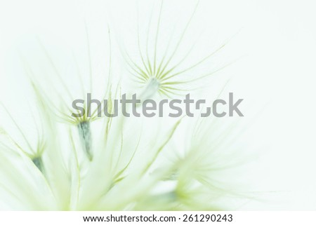 Dandelion abstract background. Shallow depth of field. - stock photo