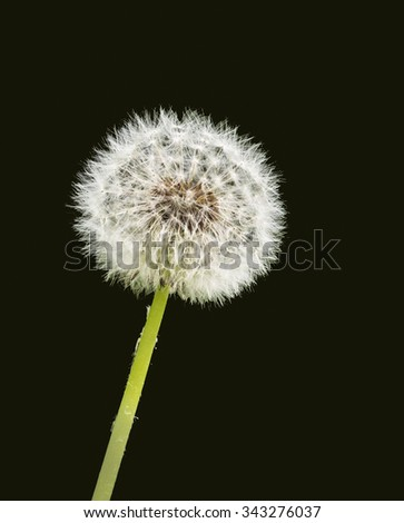 Dandelion against Dark Green Background, Isolated - stock photo
