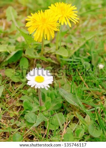 Dandelion and daisy - stock photo