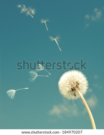 Dandelion and flying  fuzzes,with a retro effect - stock photo