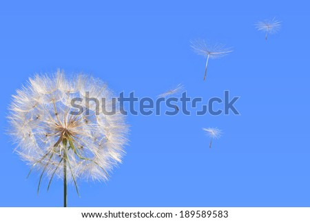 Dandelion and seed blowing away in the wind across a clear blue sky. Close up      - stock photo