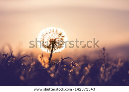 Dandelion at sunset - stock photo