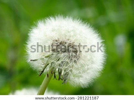 Dandelion Clock Close-up of a dandelion clock against a green background.  Focus on the blowball. - stock photo