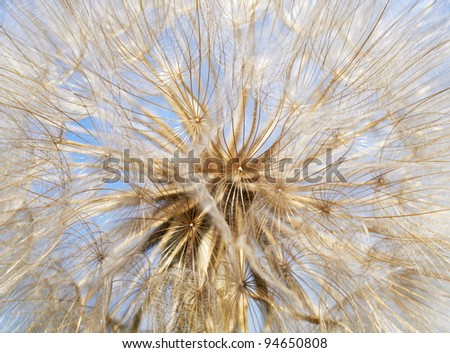 Dandelion close up - stock photo