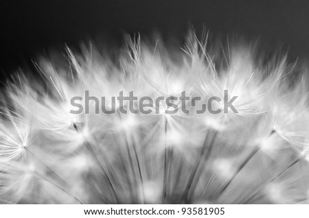 Dandelion close up in Monochrome colors - stock photo