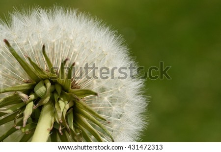 Dandelion (close up of the backside of a dandelion)  - stock photo