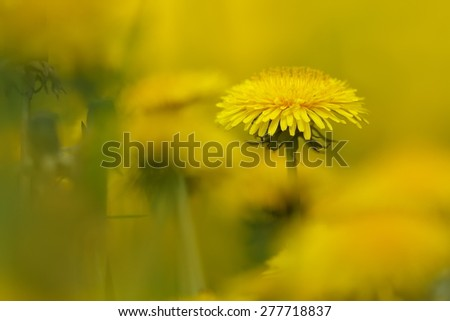 Dandelion close up with small field of dept - stock photo