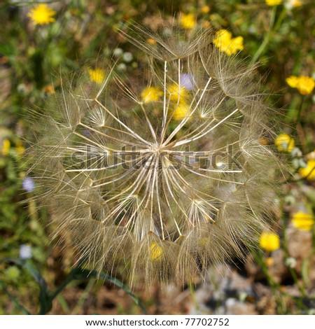 dandelion closeup - stock photo