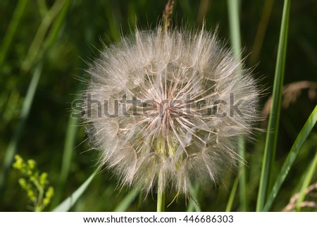 Dandelion, Dandelions flower, Seeds of dandelion - stock photo