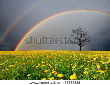 dandelion field and dead tree under cloudy sky with rainbow - stock photo