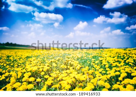 Dandelion field at sunny summer day  - stock photo
