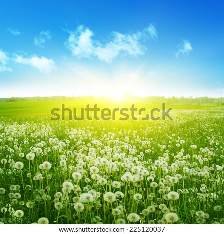 Dandelion field,blue sky and sunlight. - stock photo