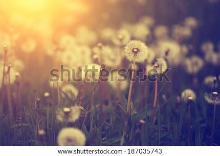 Dandelion field in sunset - stock photo