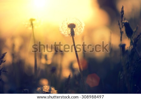 Dandelion field over sunset background. Dandelion blowing seeds in the wind. Nature scene - stock photo