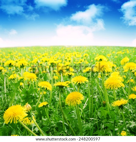Dandelion field under blue sky in summertime. - stock photo