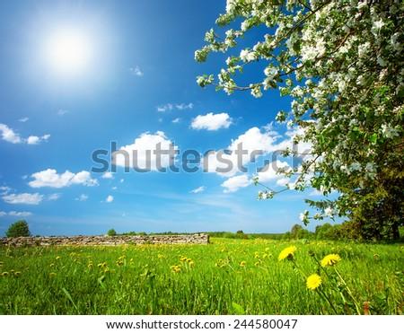 Dandelion field with apple tree - stock photo