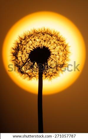 Dandelion flower at sunset - stock photo