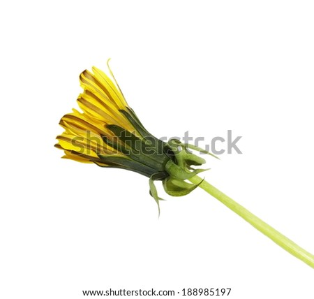 dandelion flower bud isolated on white - stock photo